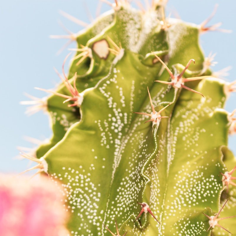 light green cactus